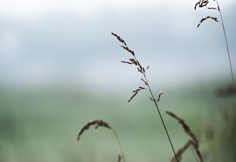Närbild av grässtrån